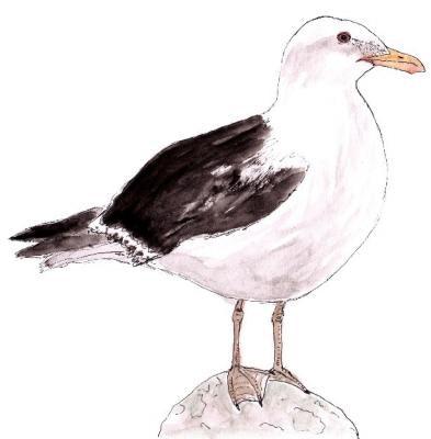 Southern Blackback Gull