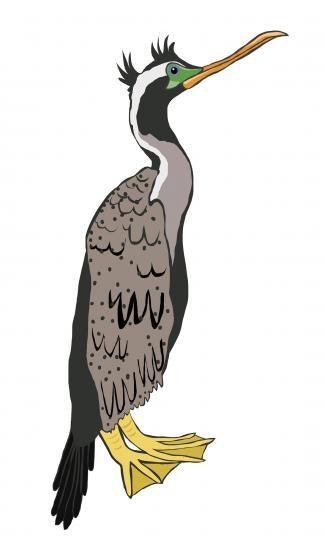 Spotted Shag/Cormorant