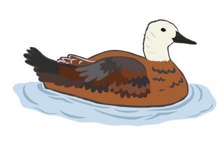 Paradise Shell Duck Female