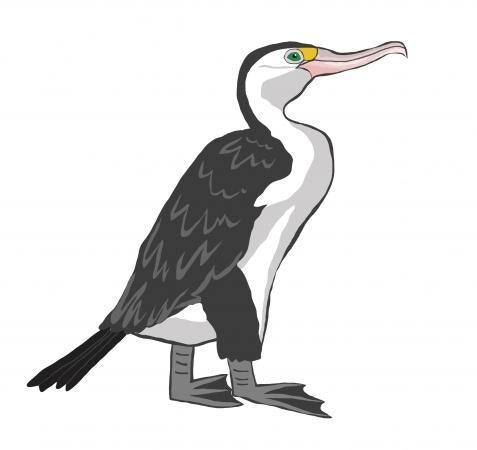 Pied Shag/Cormorant