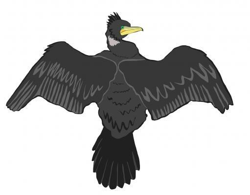 Black Shag/Cormorant