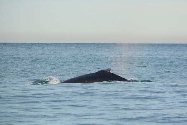 Himpback whale