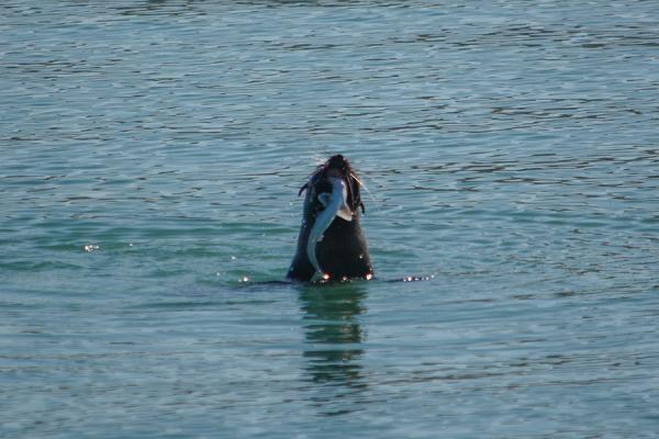 Pup seal