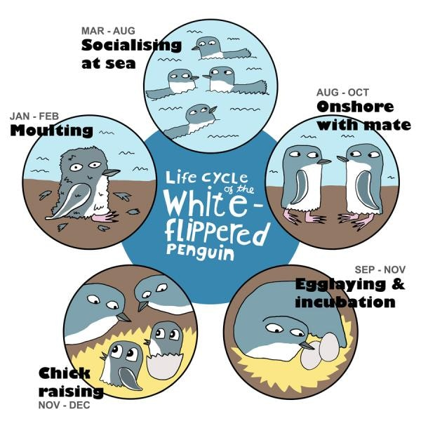 Penguin life cycle2