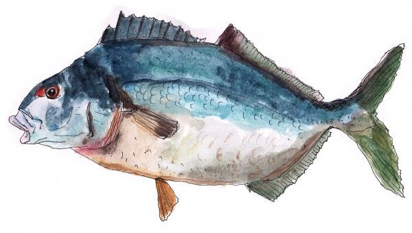Blue moki
